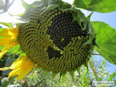 Nasiona słonecznika, armagedon