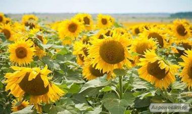 Nasiona słonecznika, mir