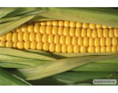 Nasiona kukurydzy, gibrid solonyanskiy 298 sv