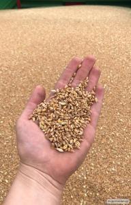 Sprzedam kwalifikowany materiał siewny zbóż