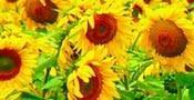 Nasiona słonecznika, gibrid dunay