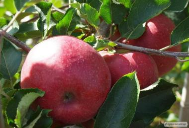Sadzonki jabłoni, red dzhonaprinc