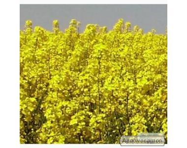 Nasiona rzepaku ozimego, monsanto