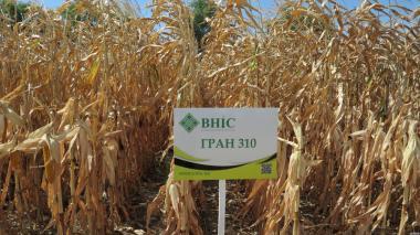 Nasiona kukurydzy, gamma 440