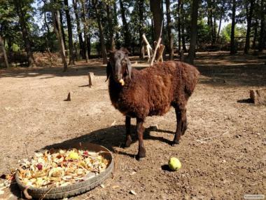 Owce  Gissarska