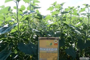 Nasiona słonecznika, primi