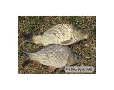 Ryby słodkowodne Amur biały