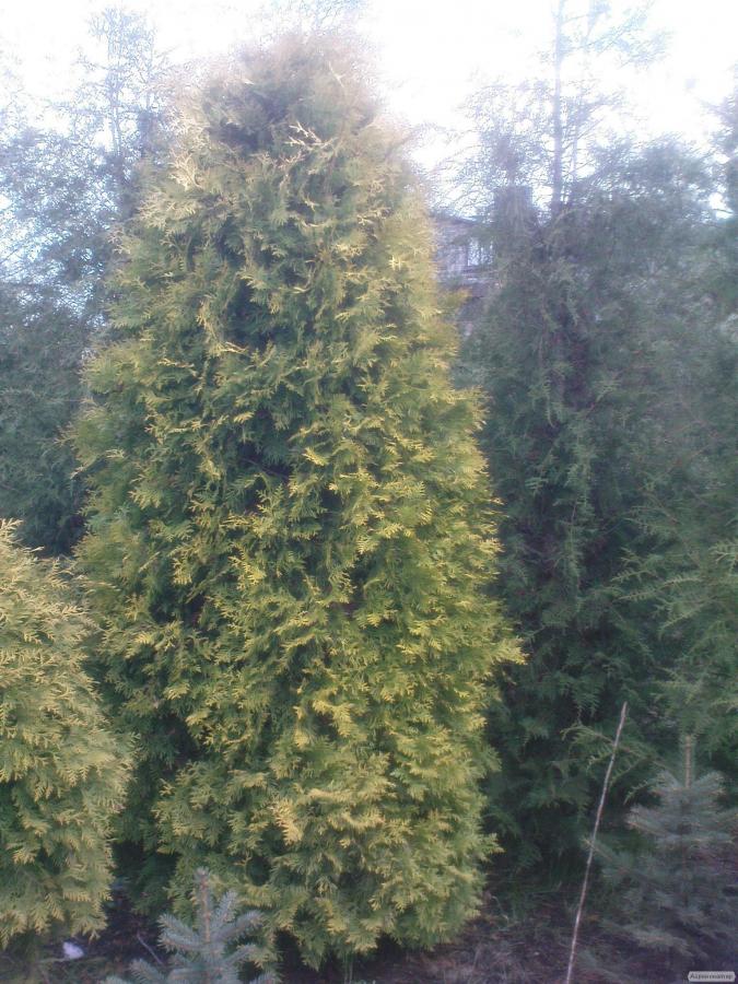 Tuje w promocyjnej cenie, wysokość 1 m - 2,6 m. Różne odmiany.