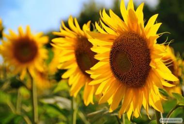 Nasiona słonecznika, etyud