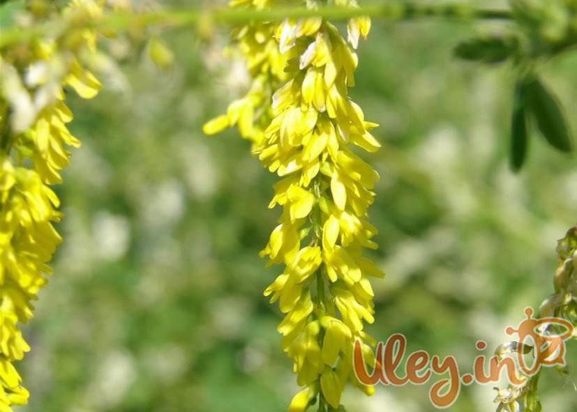 Nasiona nostrzyka żółtego dwuletniego, zolotistyy