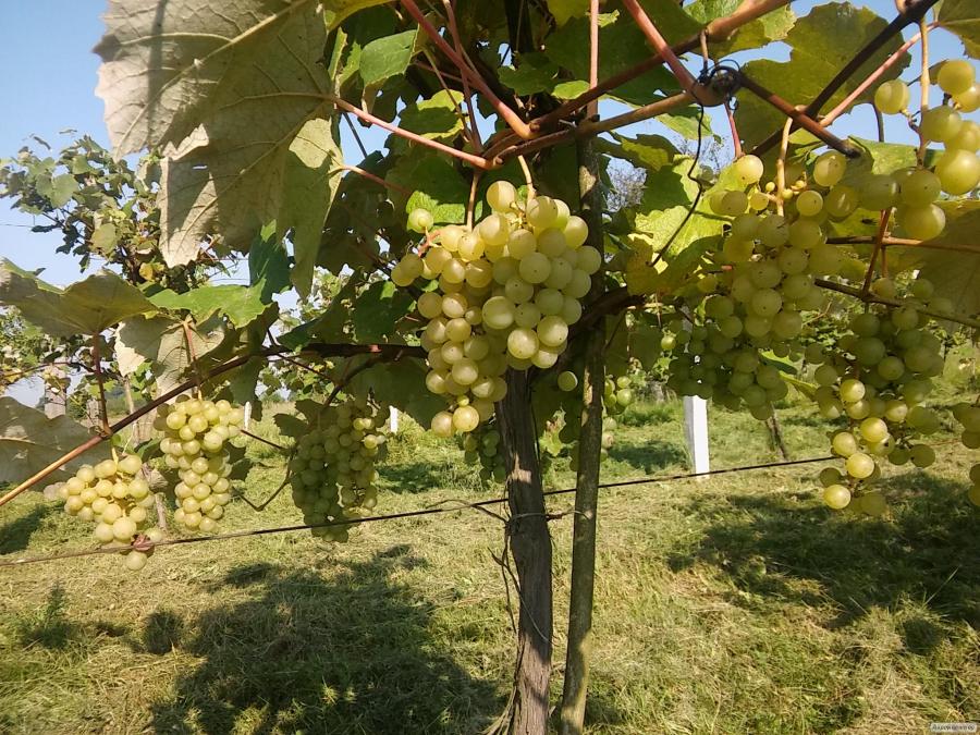 Sprzedam białe winogrona