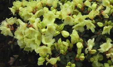 Rododendron 'Wren'