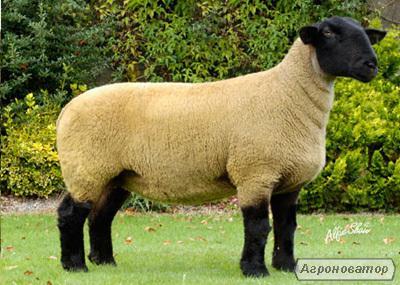 Owce  Précoce