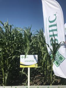 Nasiona kukurydzy, gran
