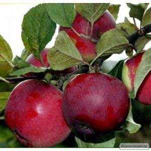 Sadzonki jabłoni, gloster
