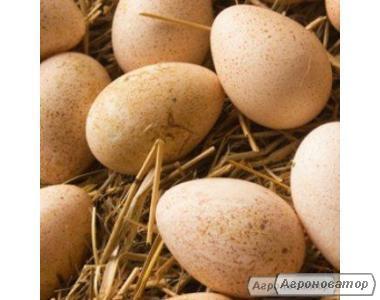 Jaja inkubacyjne indycze
