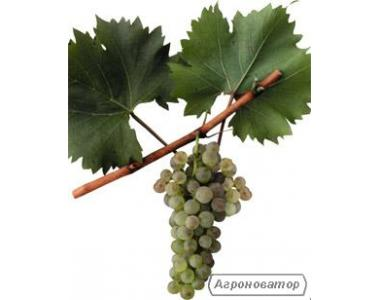 Sadzonki winogron, diaspory, izaballa belaya ananasnaya