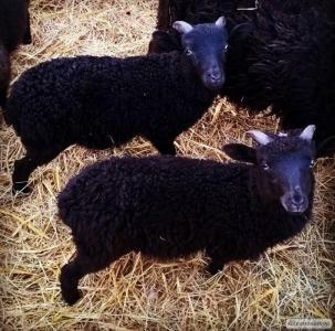 Sprzedam owce wrzosówki jagnięta/matki kotne/tryki