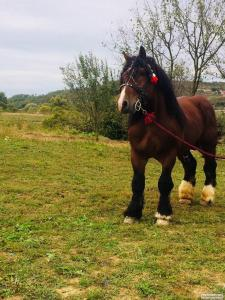 Konie ciężkie  Ardeńska