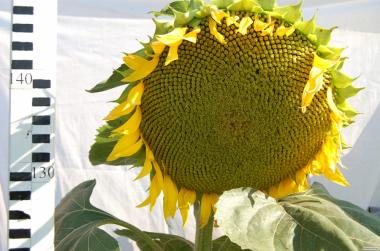 Nasiona słonecznika, oskil