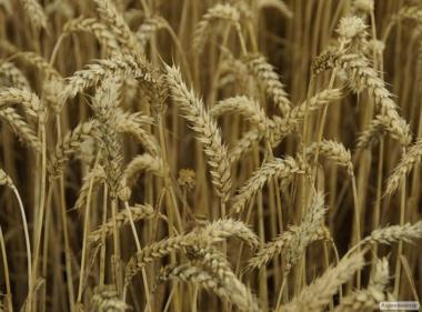 Nasiona pszenicy ozimej, grom