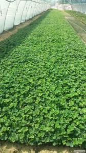 Rozsada truskawek, murano
