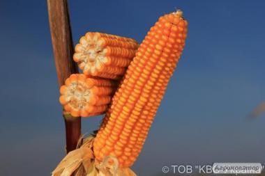 Nasiona kukurydzy, gibrid emilio