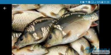 Ryby słodkowodne Karp