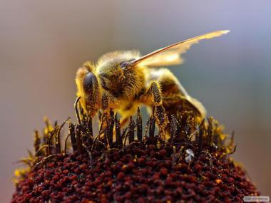 Rodziny pszczele  Średnioruska
