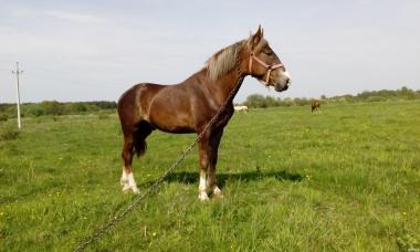 Konie ciężkie  Toryjska