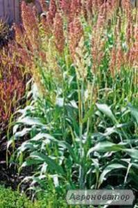 Nasiona sorgo, karlikovoe-45