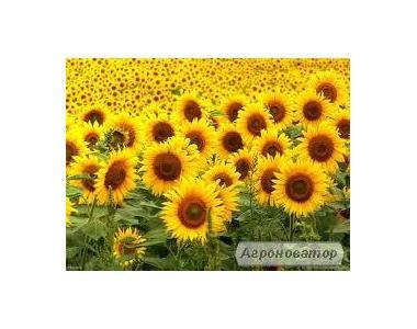 Ziarno słonecznikowe