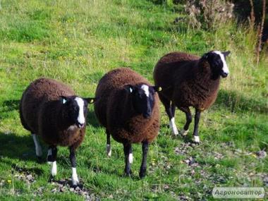 Owce  inna