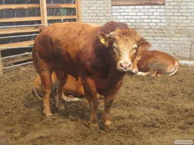 Krowy  Wołyńska