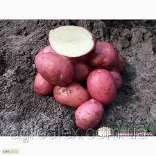Sadzeniaki ziemniaków, kristina