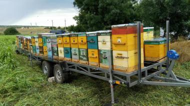 Rodziny pszczele  Buckfast