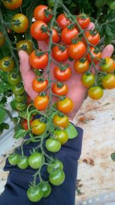 Pomidor Cherry
