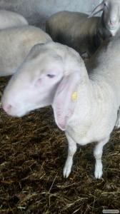 Owce  Cygaj