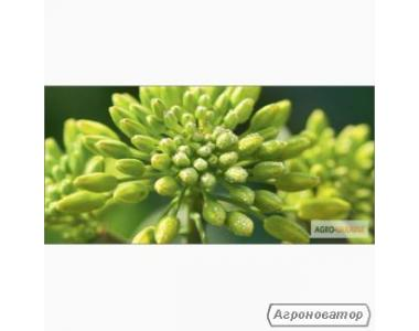 Nasiona rzepaku ozimego, sirius