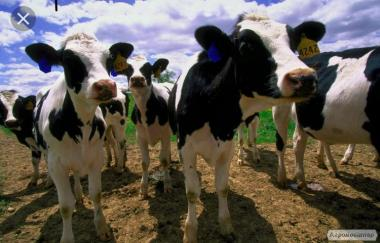 Krowy  Łaciata