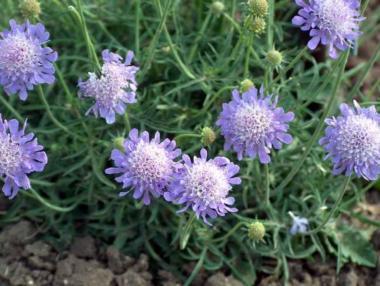 Driakiew japońska var.alpina
