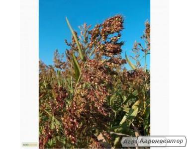 Nasiona sorgo sudańskiego, mironovskaya 10