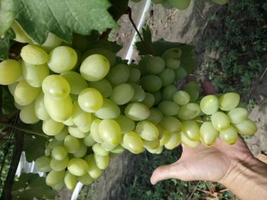 Deserowa odmiana winorośli preobrazhenie
