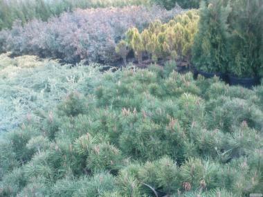 Drzewa iglaste, choinki - jodła, świerk, sosna, sośnica japońska