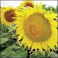 Nasiona słonecznika, aydar