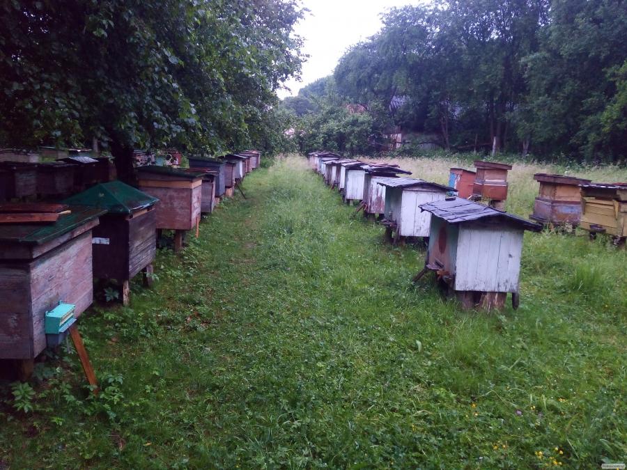 sprzedam Matka pszczela Karpacka