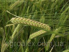 Nasiona jęczmienia siewnego, dostoynyy