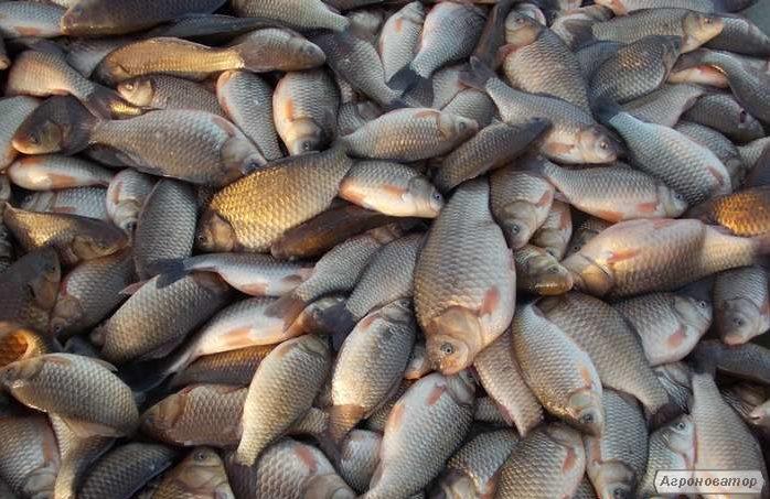 Ryby słodkowodne Karaś