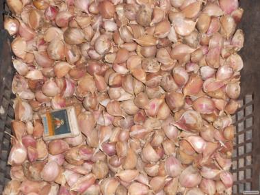 Nasiona czosnku siewnego