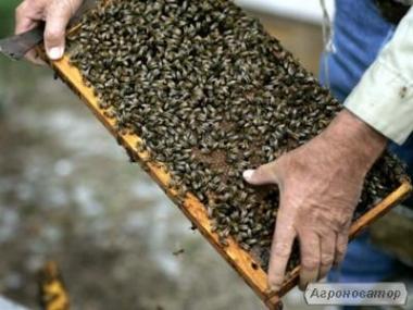 Rodziny pszczele  Żółta kaukaska